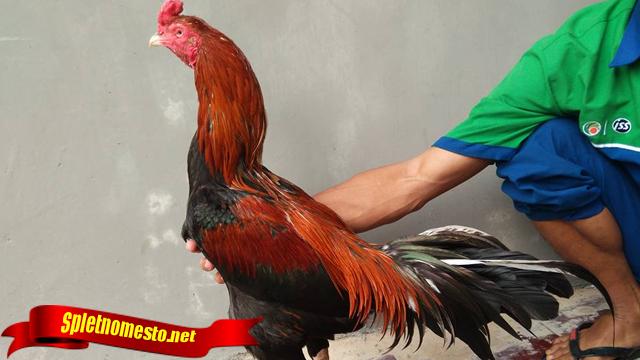 Ciri Menang Kalah Ayam Sebelum Bertarung