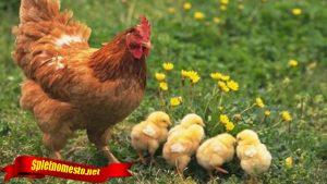 Fakta Tentang Ayam