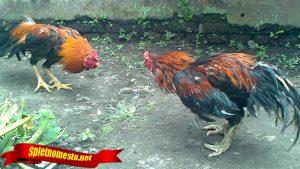 Kenali Jurus Bongkar Ayam Bangkok