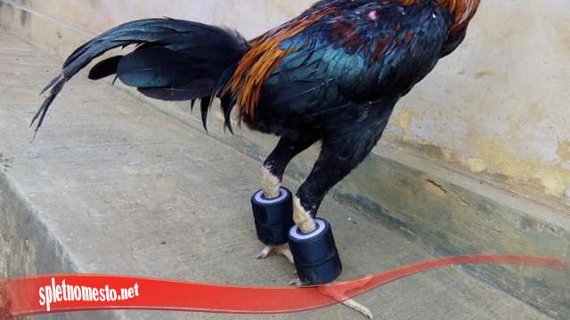 Guna Otot Pada Kaki Ayam Bangkok