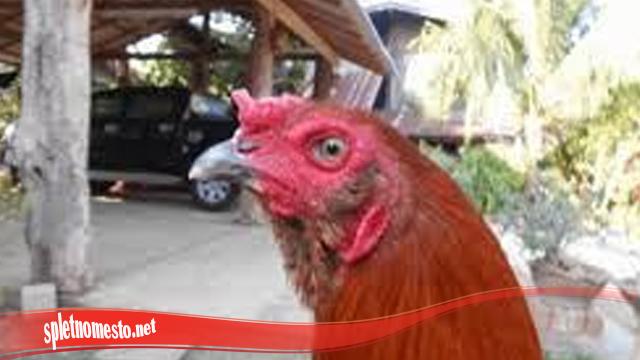Kumis Terdapat Pada Ayam S128