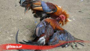 Pembangkit Untuk Mental Ayam S128
