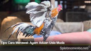 Tips Cara Merawat Ayam Aduan Usia Muda