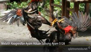 Melatih Keagresifan Ayam Aduan Sabung Ayam S128