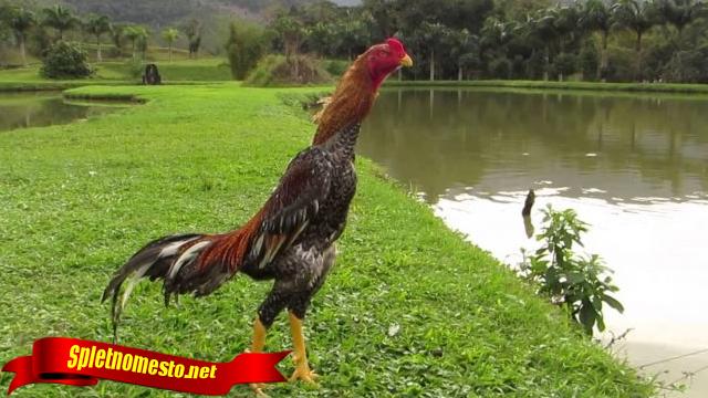 Cara Pilih Ayam Aduan Dari Ekornya