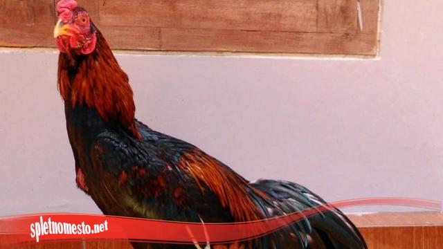 Memperlebat Bulu Ayam Tarung SV388 Anda