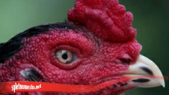 Mempersingkat pemulihan Mata Pada Ayam S128